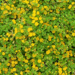 Creeping Jenny Hardy Low Growing