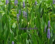 Purple Pickerel   Hardy -  Medium Height